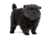 The puppy in studio. The puppy of the spitz-dog in studio Royalty Free Stock Photo