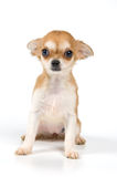 The puppy in studio stock image
