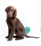 Puppy at the studio. Flat Coated Retriever at the photo studio royalty free stock photo