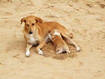 Puppy sucking milk on beach Royalty Free Stock Photo