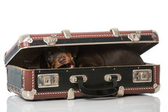 Puppy in a suitcase Royalty Free Stock Images