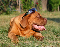 Puppy in sun glasses. Puppy of breed a mastiff from Bordeaux in the big basket Stock Images