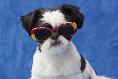 Puppy in sunglasses. Royalty Free Stock Photography