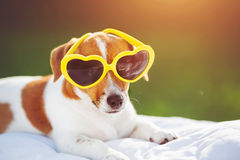 Puppy sunning in glasses, hidden eyes, soft focus. Dog sunning in glasses, hidden eyes, soft focus Royalty Free Stock Photography