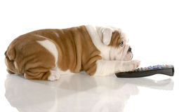 Puppy surfing the channels with remote Royalty Free Stock Photos