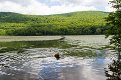 Puppy Swims in Mountain Lake Royalty Free Stock Photography