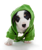 Puppy T-shirt  Hooded Royalty Free Stock Images