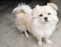 Puppy tail up. A brown white puppy is looking upward with bright eyes ,and tail curly up Stock Image