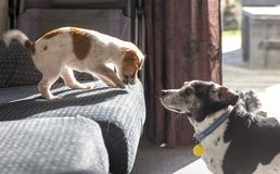 Puppy teasing the older dog from the couch royalty free stock photo
