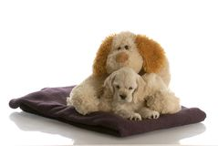 Puppy and teddy bear Stock Photography