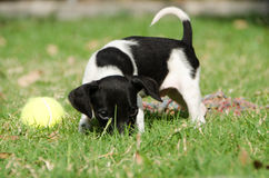 Puppy with tennis ball Stock Image