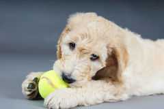 Puppy with tennis ball. Cute goldendoodle puppy with tennis ball Stock Images