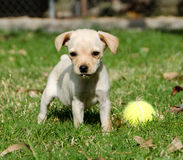 Puppy with tennis ball Stock Photos