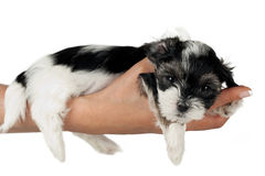 Puppy terrier Royalty Free Stock Photography