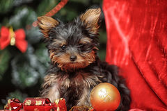 The puppy of the terrier Stock Images