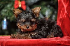 The puppy of the terrier Royalty Free Stock Photography