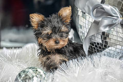 The puppy of the terrier Stock Photography