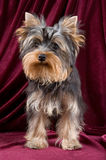 The puppy of the terrier. In studio Stock Images