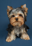 Puppy on textile background Stock Photos