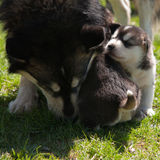Puppy and of theirs mother Stock Image