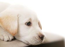 Puppy Thinking 2 stock photography