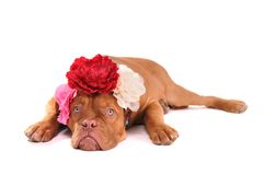 Puppy with three bows Royalty Free Stock Photo