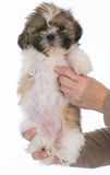 Puppy with three legs Royalty Free Stock Images