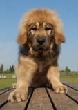 Puppy tibetan dog Stock Photos