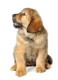 Puppy tibetan mastiff Stock Image