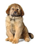 Puppy tibetan mastiff. In front of white background and facing the camera stock photography