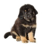 Puppy tibetan mastiff. In front of white background and facing the camera royalty free stock image