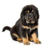 Puppy tibetan mastiff. In front of white background and facing the camera stock images