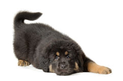 Puppy tibetan mastiff. Lying down in front of white background and facing the camera stock image