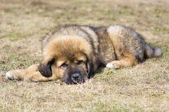 Puppy Tibetan Mastiff Stock Photography