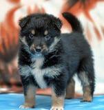 Puppy tibetan mastiff Stock Photos