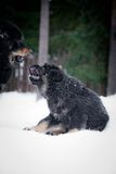 Puppy tibetan mastiff in winter, holiday, snow Royalty Free Stock Photos
