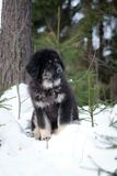 Puppy tibetan mastiff in winter, holiday, snow Stock Photography