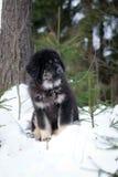 Puppy tibetan mastiff in winter, holiday, snow Stock Photography