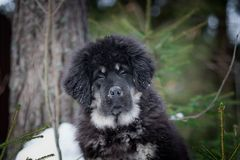 Puppy tibetan mastiff in winter, holiday, snow Royalty Free Stock Photo