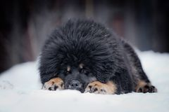 Puppy tibetan mastiff in winter, holiday, snow Stock Photos