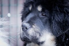 Puppy tibetan mastiff in winter, holiday, snow Royalty Free Stock Photography