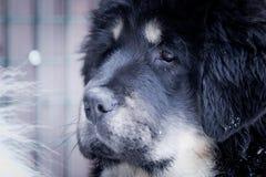 Puppy tibetan mastiff in winter, holiday, snow Royalty Free Stock Photography