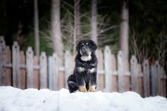 Puppy tibetan mastiff in winter, holiday, snow Stock Photo