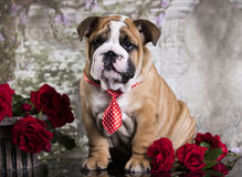 Puppy in a tie Royalty Free Stock Photos