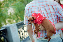 Puppy tied with a bow as a gift from men Royalty Free Stock Photo