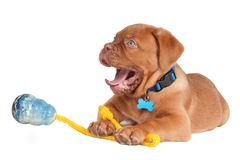 Puppy tired with playing Royalty Free Stock Photo