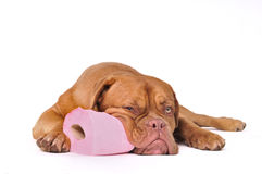 Puppy with Toilet Paper Royalty Free Stock Images