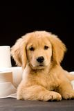 Puppy and Toilet Paper. A golden retriever puppy with soft toilet paper royalty free stock images