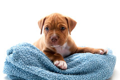 Puppy and towel. Dog  with towel on isolate white background Stock Photo