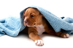 Puppy and towel. Dog with towel on isolated white background Royalty Free Stock Images
